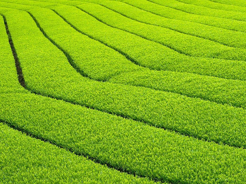 Nishio Tea field