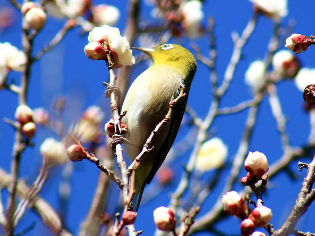 Mukaiyama Greens Park plum blossoms