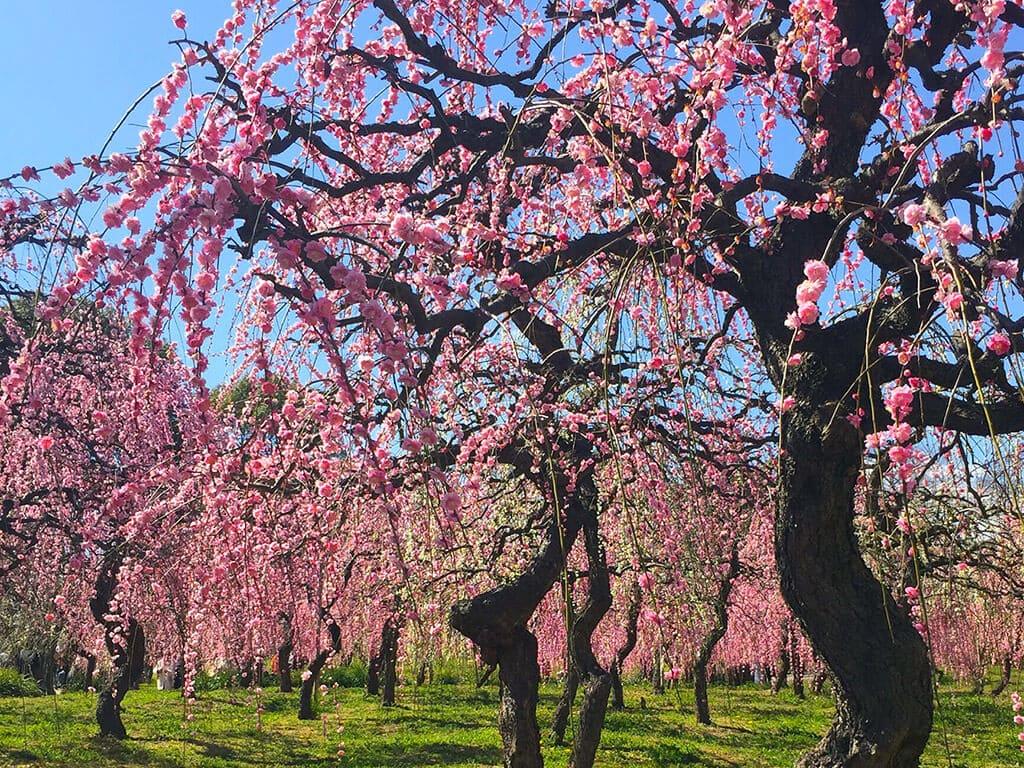 Nagoya Agricultural Center plum blossoms
