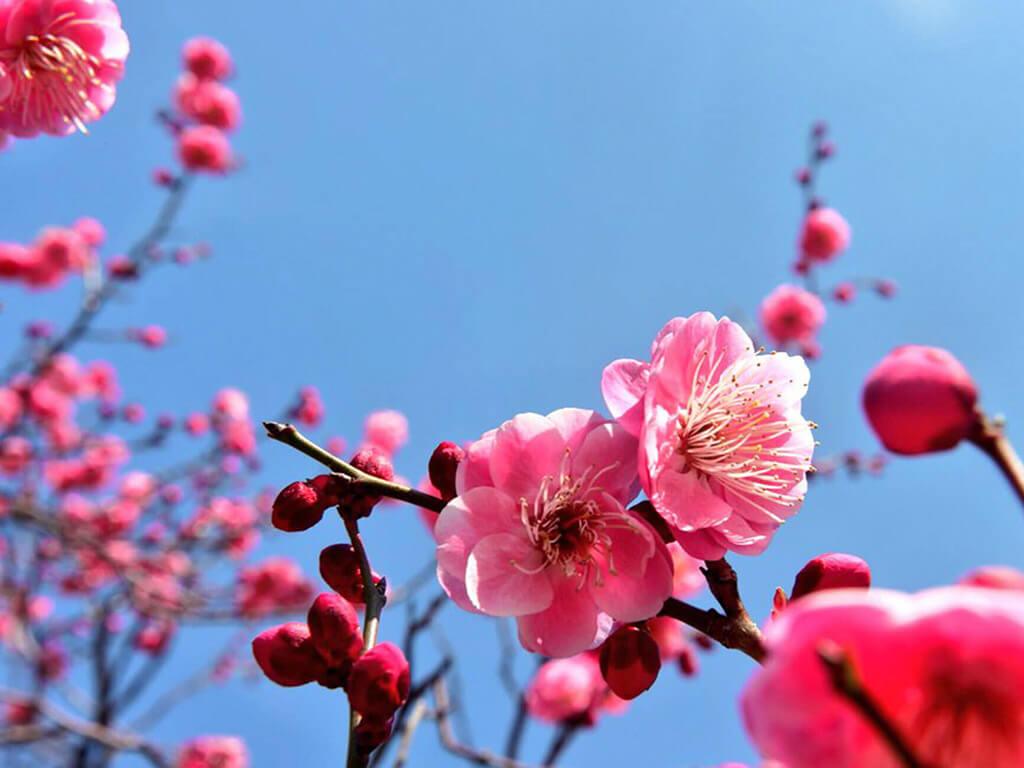 Okazaki Minami Park plum blossoms