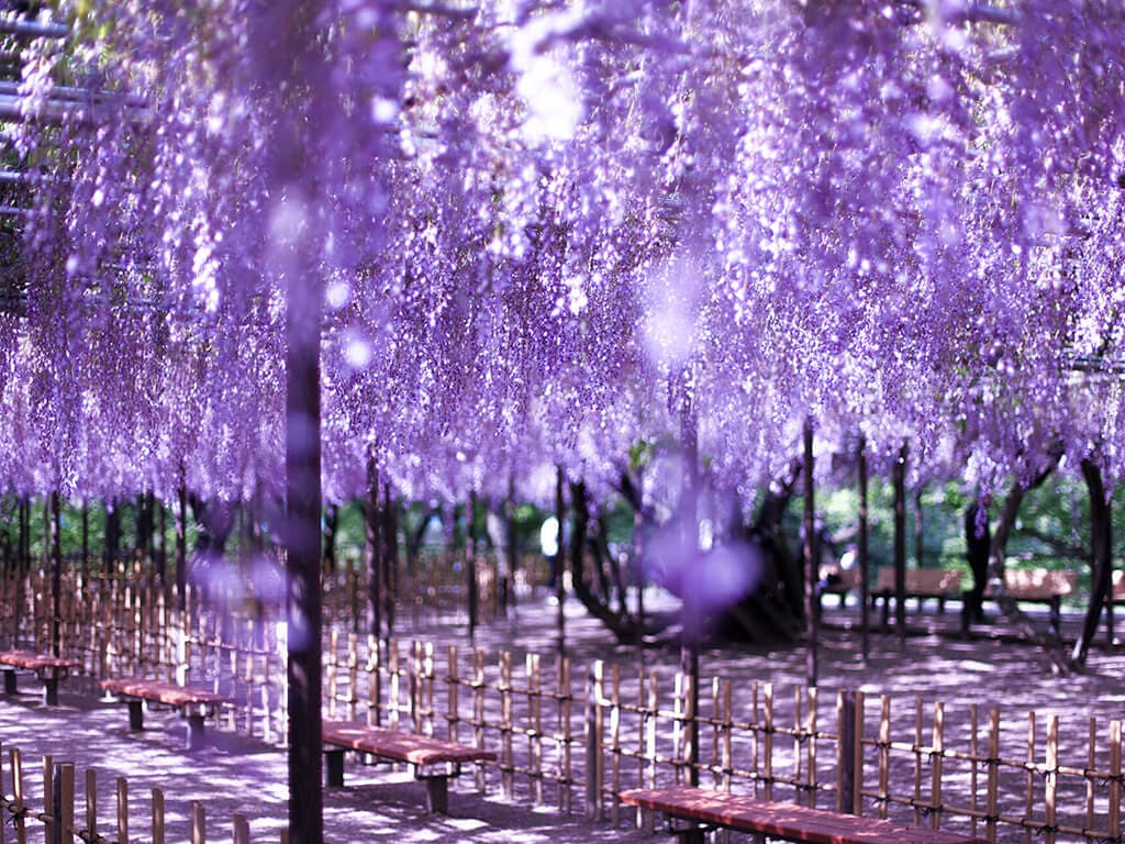 Okazaki park wisteria