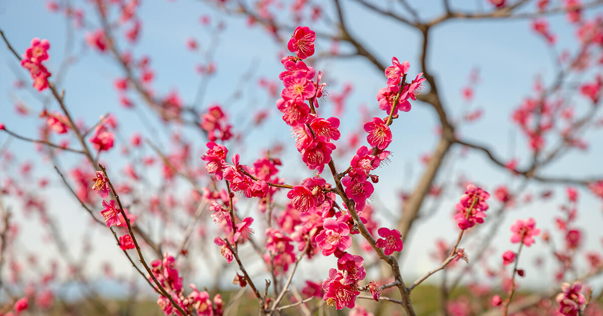 Plum Blossoms in Aichi and Nagoya