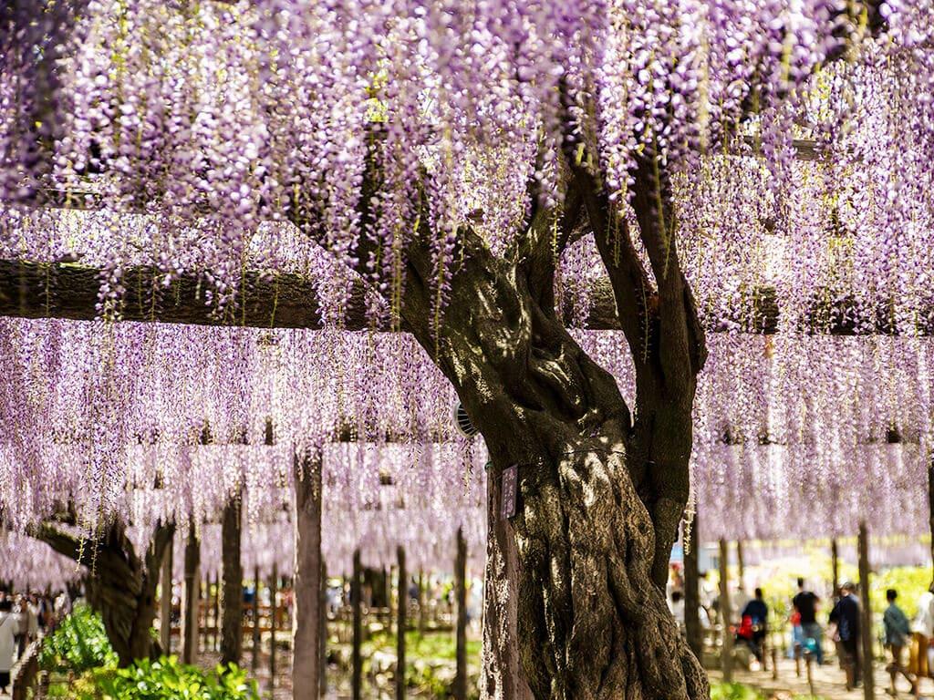 Tennogawa Park wisteria