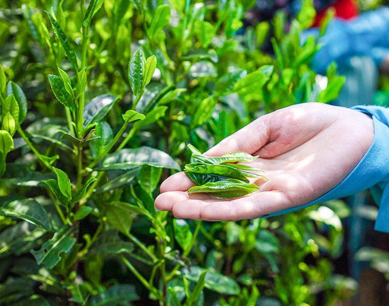 Matcha Green Tea Nishio